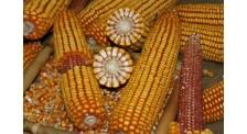 东华北春玉米中晚熟玉米品种东北玉米品种销售