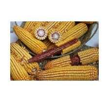 大部分地区种植吉林玉米品种生产