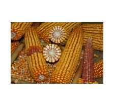 中晚熟玉米品种东北玉米品种批发