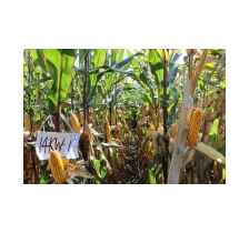 吉农大17(吉审玉2016001),极早熟玉米新品种,德美亚1号熟期