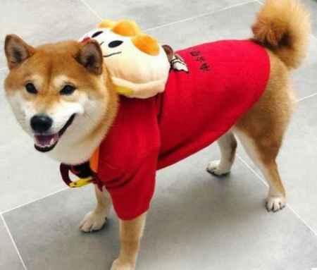 日本纯正柴犬犬舍